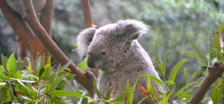 Koalas, Kangaroos, and Emus, Oh My!