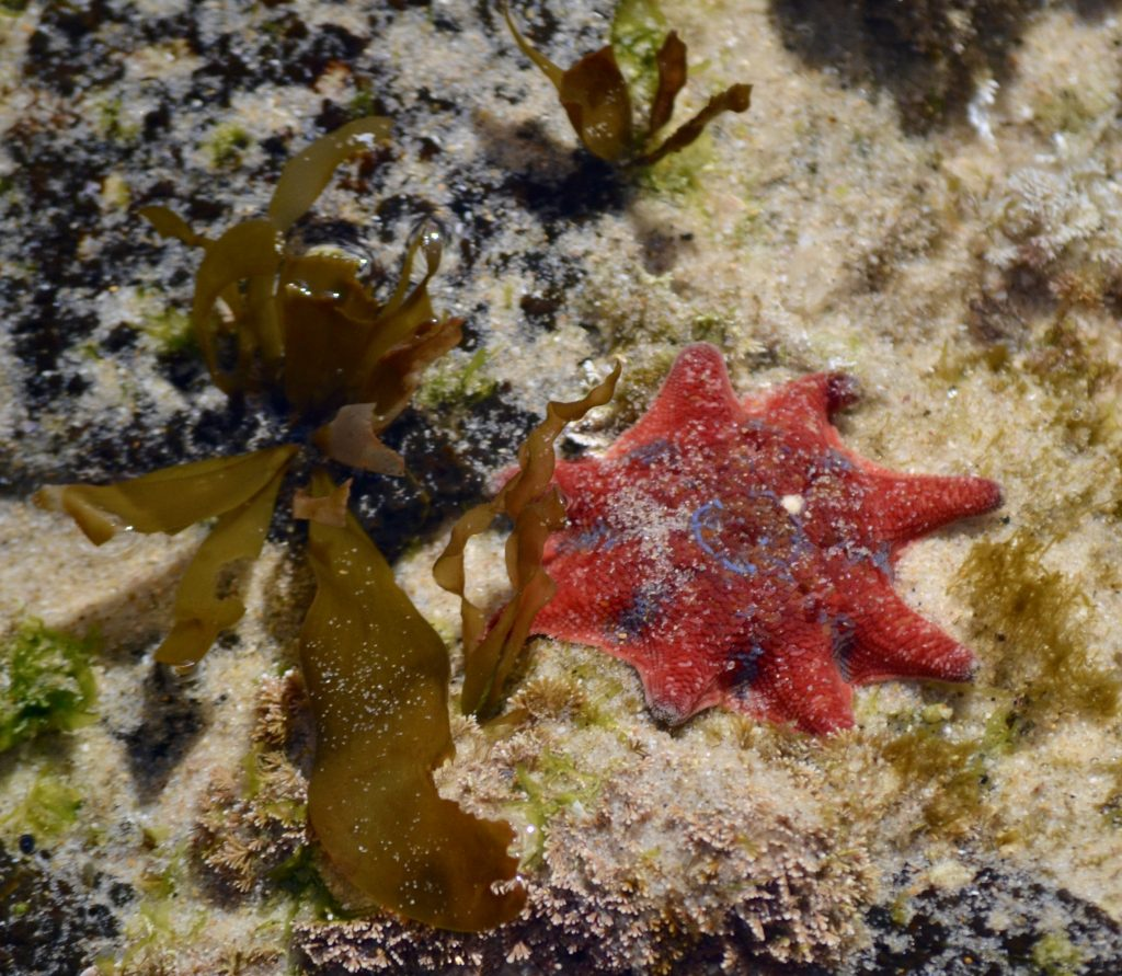 Carpet seastar