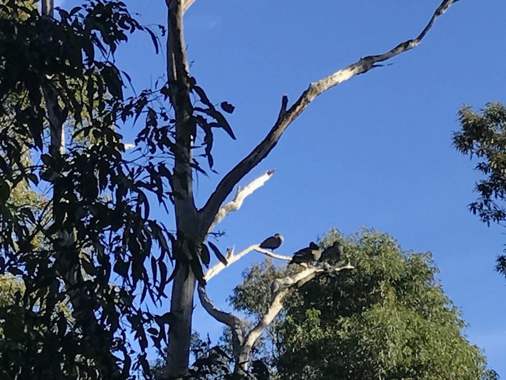 Wood ducks on a branch