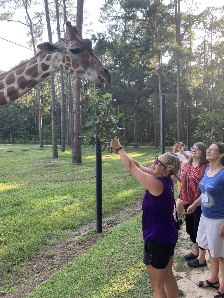 Feeding an adult female giraffe