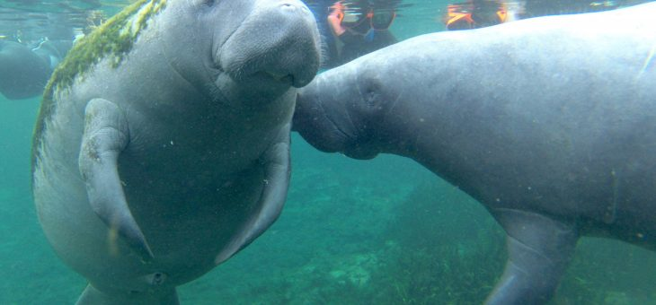 Manatees in Crystal River
